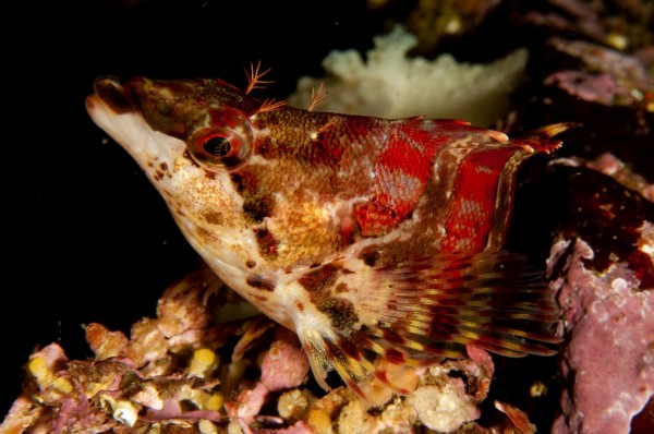 Painted Greenling Diving Near Nanaimo BC