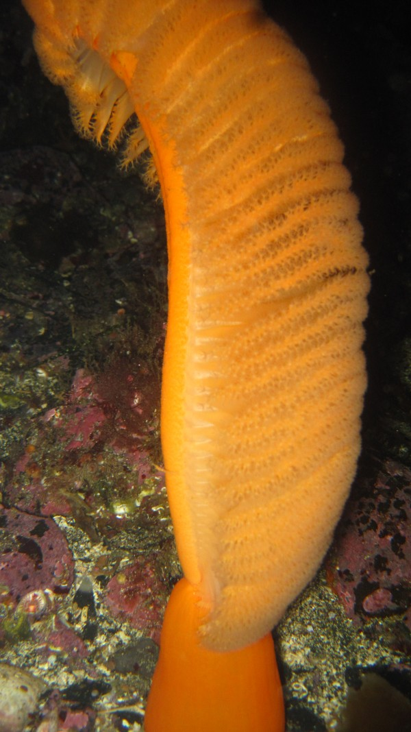 Laurel Orange Sea Pen
