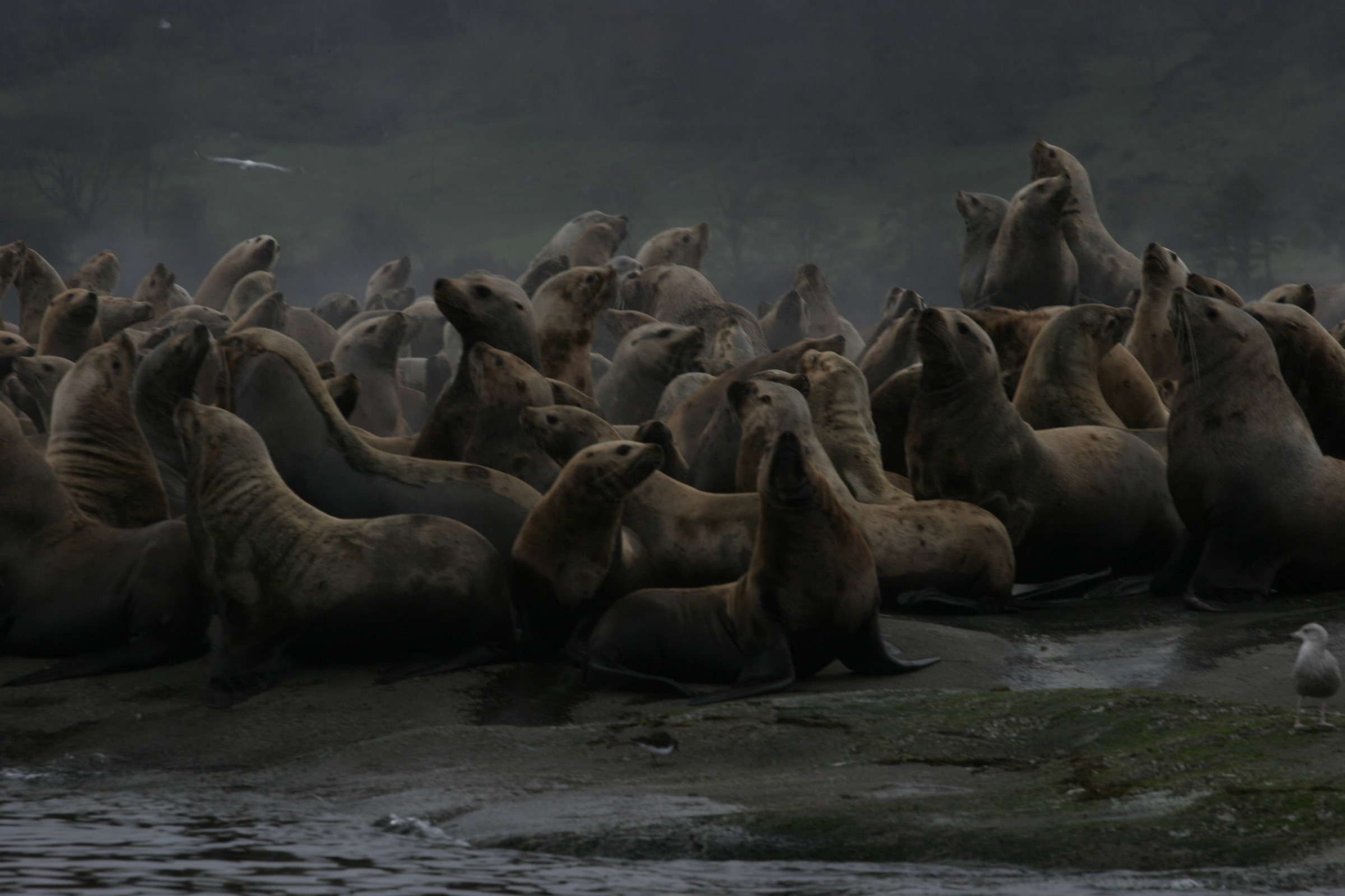 Sea lion Colony Picture near Hornby Island with Sink or Swim Scuba Nanaimo