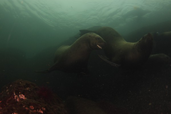 Sea lions interacting with divers Sink or Swim Scuba Nanaimo BC Pictures