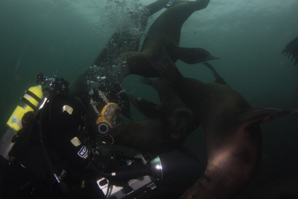 Sea Lions and Diver Pictures | Diving with Sink or Swim Scuba Nanaimo BC
