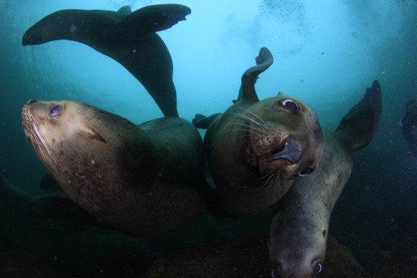 Sea lions In Your Face Pictures Diving with Sink or Swim Scuba Nanaimo