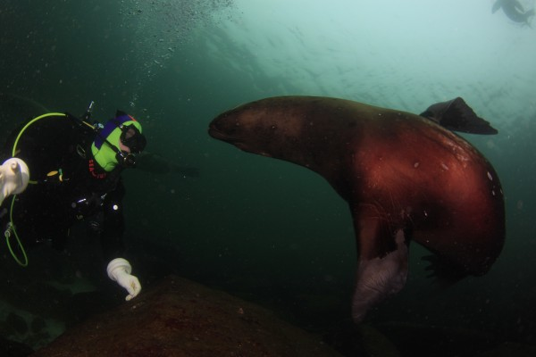 Sea lions and Scuba Diving | Scuba Diving Pictures Nanaimo BC