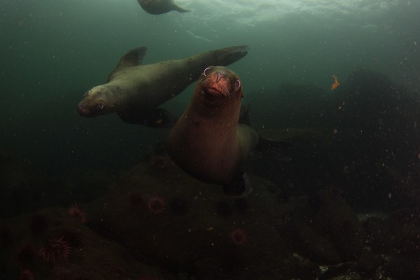 Sea lions Diving | Diving with Sea Lions Pictures Vancouver Island BC