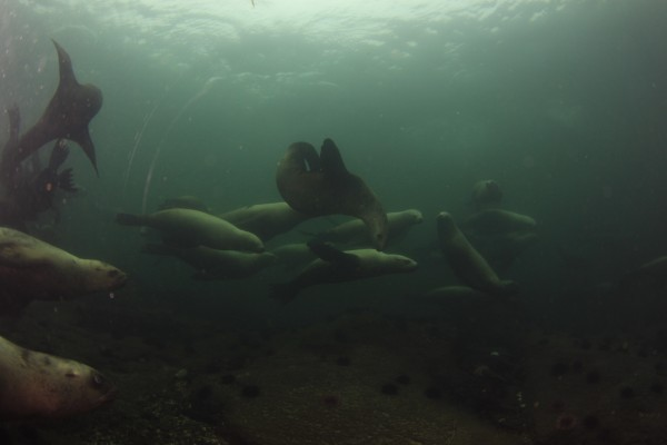 Sea lions underwater | Dive with Sea lions Nanaimo BC