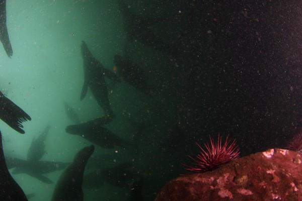 Sea Lion Ghostly Masses | Dive with Sink or Swim Scuba Nanaimo | Sea Lion Pictures