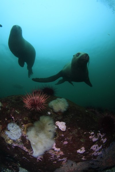 Picturs of Young Sea Lions Sink or Swim Scuba Nanaimo BC