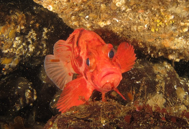 Ray Tiger Rockfish